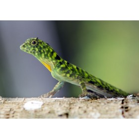 Green Crested Lizard stalking prey in the rainforest