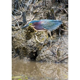 Green Heron stalking on a riverbank