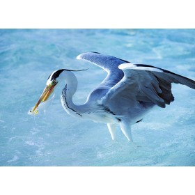 Grey Heron Spearing a Fish
