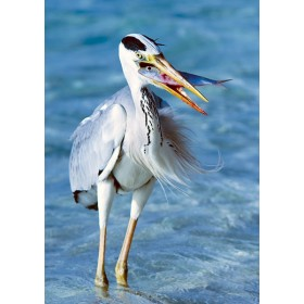 Windblown Heron Catching Fish