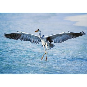 Grey Heron Landing from Flight with Perfect Grace