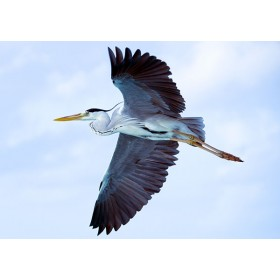 Grey Heron in Flight against a Powder Blue Sky
