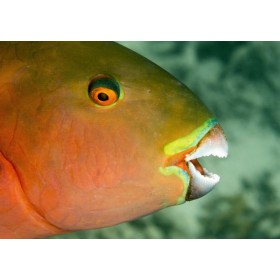 Heavybeak Parrotfish - colours of fire against emerald sea