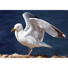 Wings of an angel - Herring Gull drying its wings