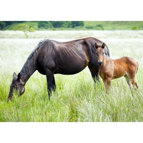 Horse and Foal grazing in the grasses of Cors Caron