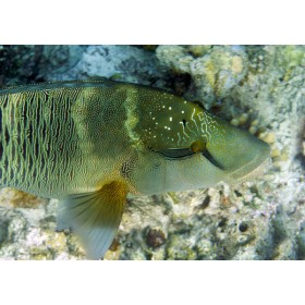 Humphead Wrasse resting on a rocky seabed