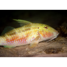 Indian Goatfish having a night-time snooze on the seabed