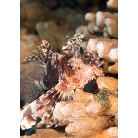 Indian Lionfish nestled among the corals