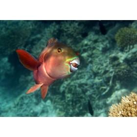 Indian Ocean Steephead Parrotfish displaying curiosity