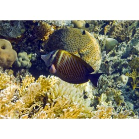 Indian Sailfin Tang swimming over a golden coral landscape