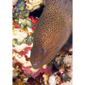 Java Moray Eel peeping out from a rainbow coloured reef
