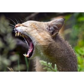 Yawning Jungle Cat