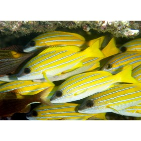 Kasmira Snappers hiding under a reef ledge