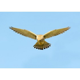 Kestrel in Flight - Kestrel hovering, scanning for prey