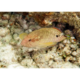 Leopard Grouper peeping out from under a coral ledge