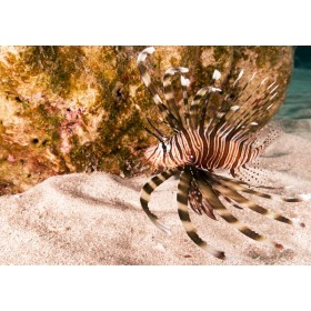 Lionfish swimming over sunlit coral sands