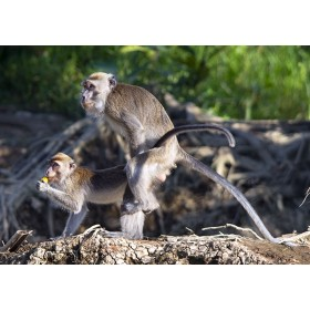 Macaques - recreation in the rainforest