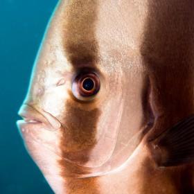 Eye of a Batfish (longfin spadefish)