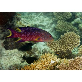 Lyretail Grouper swimming over acropora corals