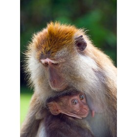 Macaque mother and child