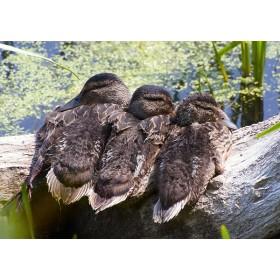 Trio of Mallard ducklings snuggled on a log