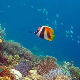 Masked Bannerfish swimming over a multi-coloured reef