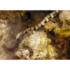 Messmate Pipefish twinning in the rubble strewn seabed