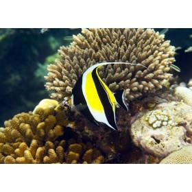 Moorish Idol swimming by Acropora corals