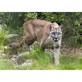 Puma hunting