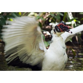 Drake in a flap - Muscovy Duck fanning its wings