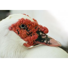 Muscovy Duck Close-up