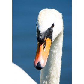 Mute Swan Portrait - Beautiful me?...