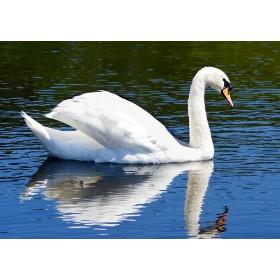 Busking Swan reflected in azure blue water