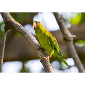 Orange-chinned parakeet in a tropical dry forest