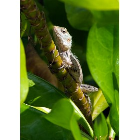 Oriental Garden Lizard hiding within a Beach Naupaka