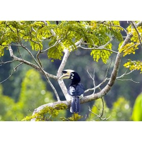 Hornbill in the Rainforest Canopy