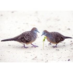 Peaceful Doves on the coral sands of a Borneo beach