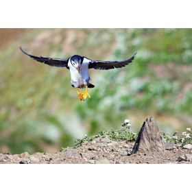 Puffins in Wales - Atlantic Puffin landing on a cliff