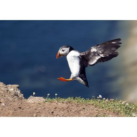 Puffin in flight precariously landing on a sea cliff