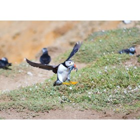 Puffins in Wales - Puffin landing with sand eels