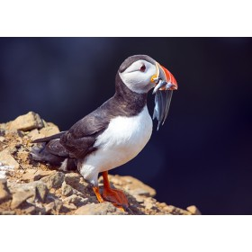 Puffin with a mouthful of Sand Eels to feed its young