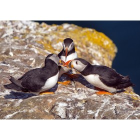 Trio of Puffins greeting each other by billing