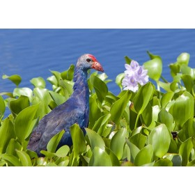 Purple Swamphen amongst Pink Waterlillies