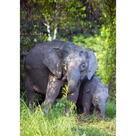 Pygmy Elephant Cow with her Calf