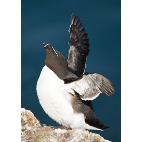 Razorbill basking in the spring sunshine