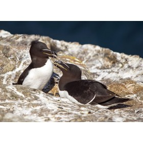 Nesting Razorbills on a coastal cliff, Skomer Island