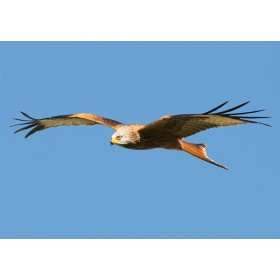 Red Kites in Wales - Kite in flight hunting for prey