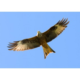 Red Kites in Wales - Red Kite in flight on a beautiful summers day
