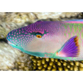 Red-speckled Parrotfish (Male) close-up portrait