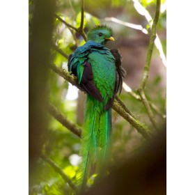 Quetzal in the Could Forest